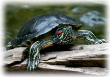 Basking Red-Eared Slider
