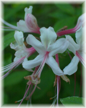 Wild Azalea along the Zoar Nature Trail
